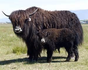 La laine de yack