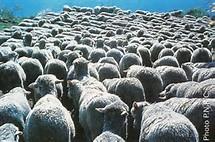 la  laine de moutons