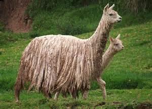la laine de l'alpaga
