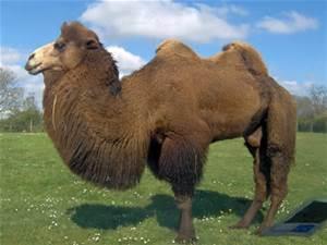 la laine de chameau