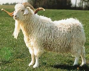 la laine de la chèvre angora